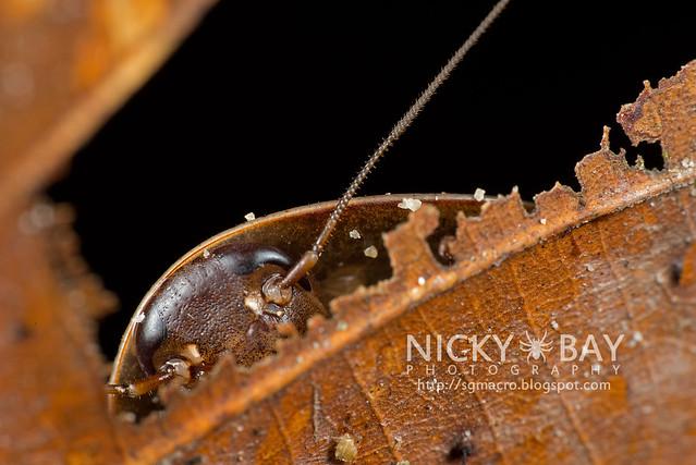 Cockroach (Blattodea) - DSC_9874