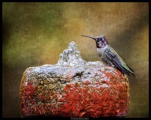 california bird art texture water fountain nikon humming d7000 ©markpatton