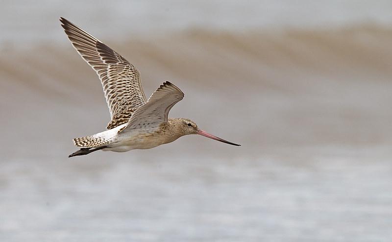 Bar-tailed Godwit - in full flight
