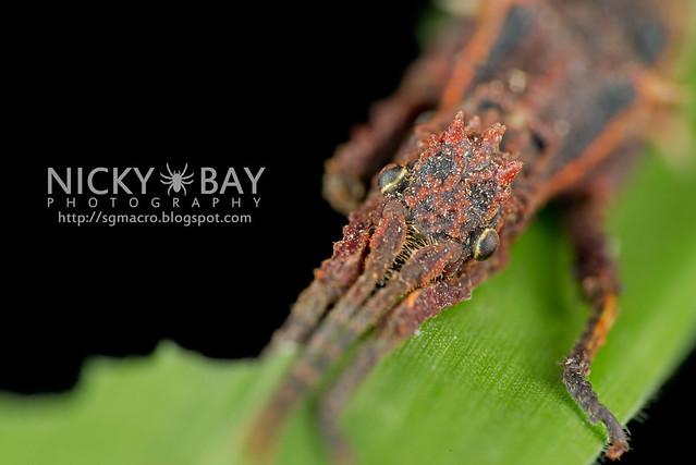 Stick Insect (Phasmatodea) - DSC_8800