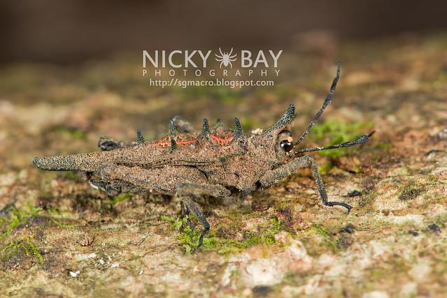 Thorny Grasshopper (Caelifera) - DSC_8764