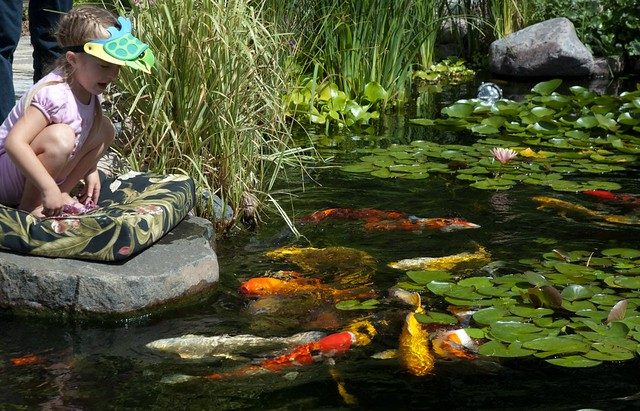 Dsc 1814 we got to spend some time a fabulous koi pond for Koi fish pond sydney