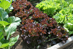 lettuce red summer crisp Teide 063