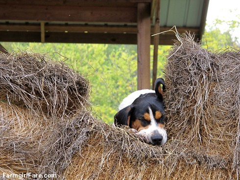 Beagle Bert in the hay and ignoring the world (1) - FarmgirlFare.com