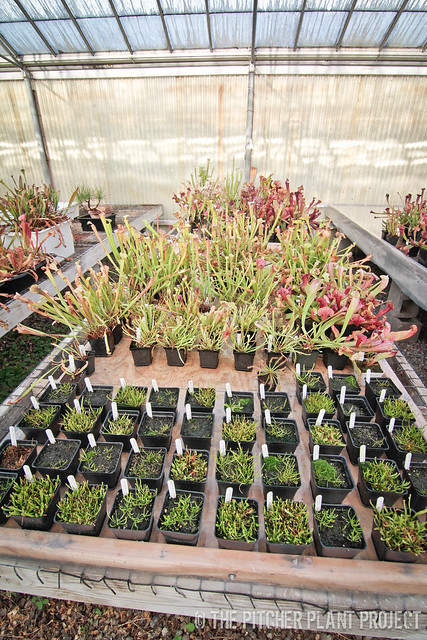 Sarracenia Seedling Cleaning and Organization