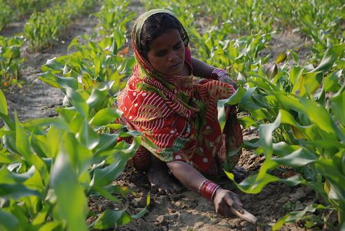 Farmer weeding maize field in Bihar, India (photo credit: CIMMYT)