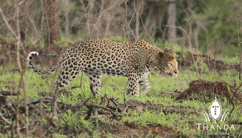 A handsome leopard walking in South Africa's Thanda Private Game Reserve