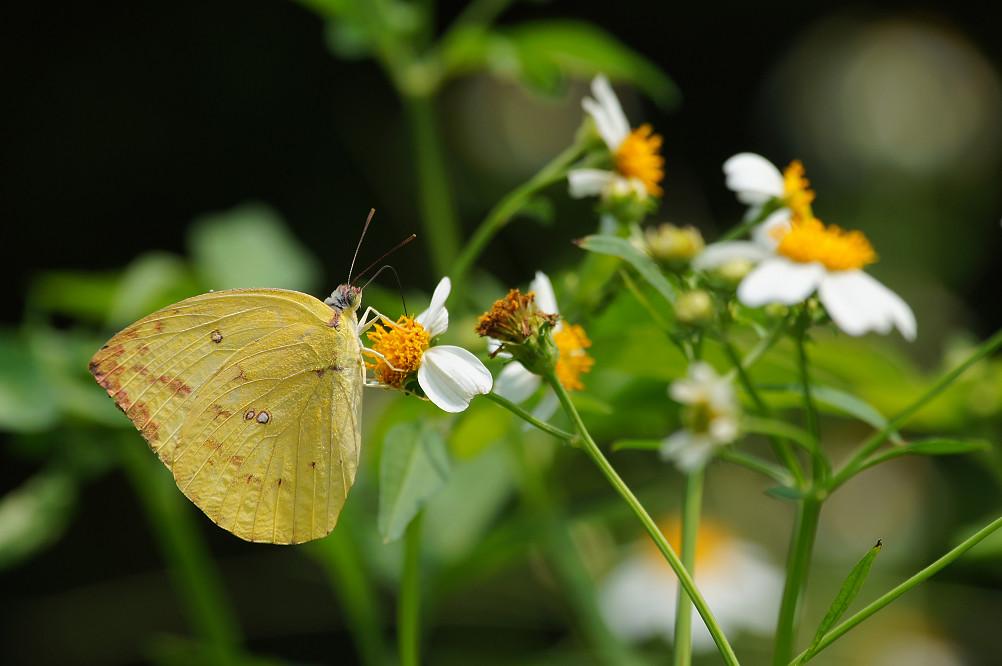 紋黃蝶-1