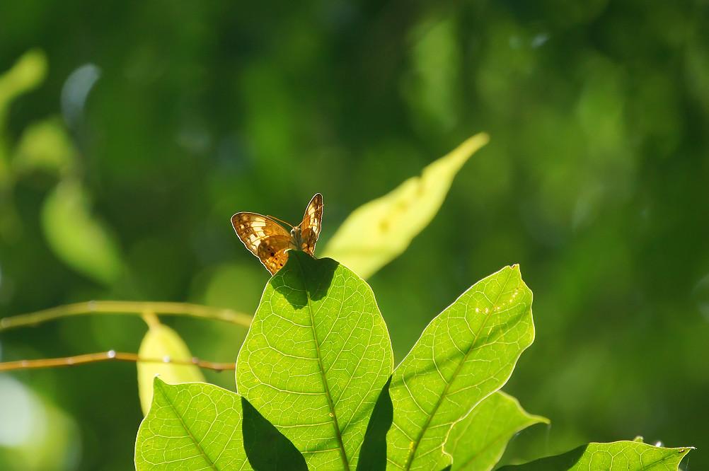 台灣黃斑蛺蝶-1