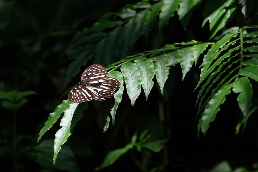 白條斑蔭蝶-1