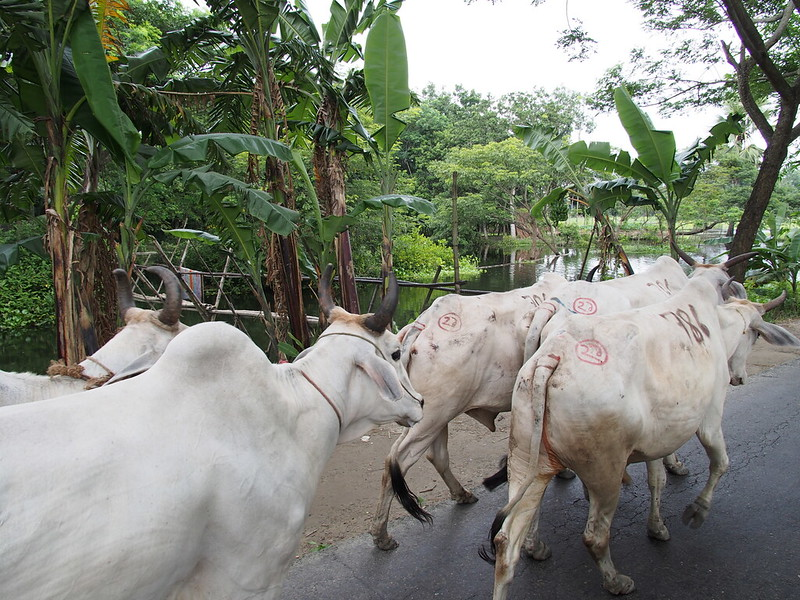 Cows in Bangladesh