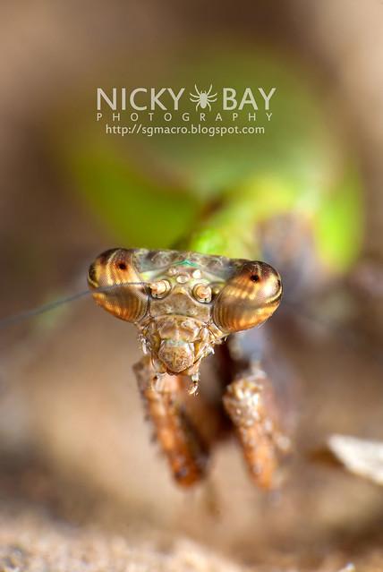 Praying Mantis (Acromantis sp.) - DSC_5658