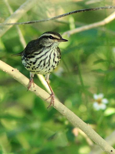 Northern Waterthrush 20121005