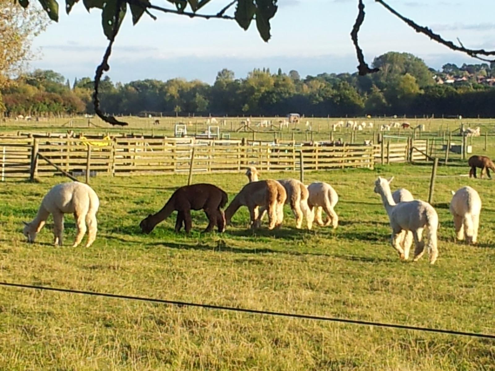 Alpaca Farm Henley to Pangbourne
