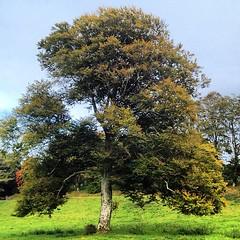 #tree #ireland