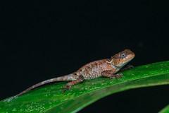 Lizards of Thailand