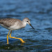 Petit Chevalier / Lesser Yellowlegs