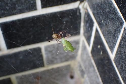 実家のクモ オオヒメグモ