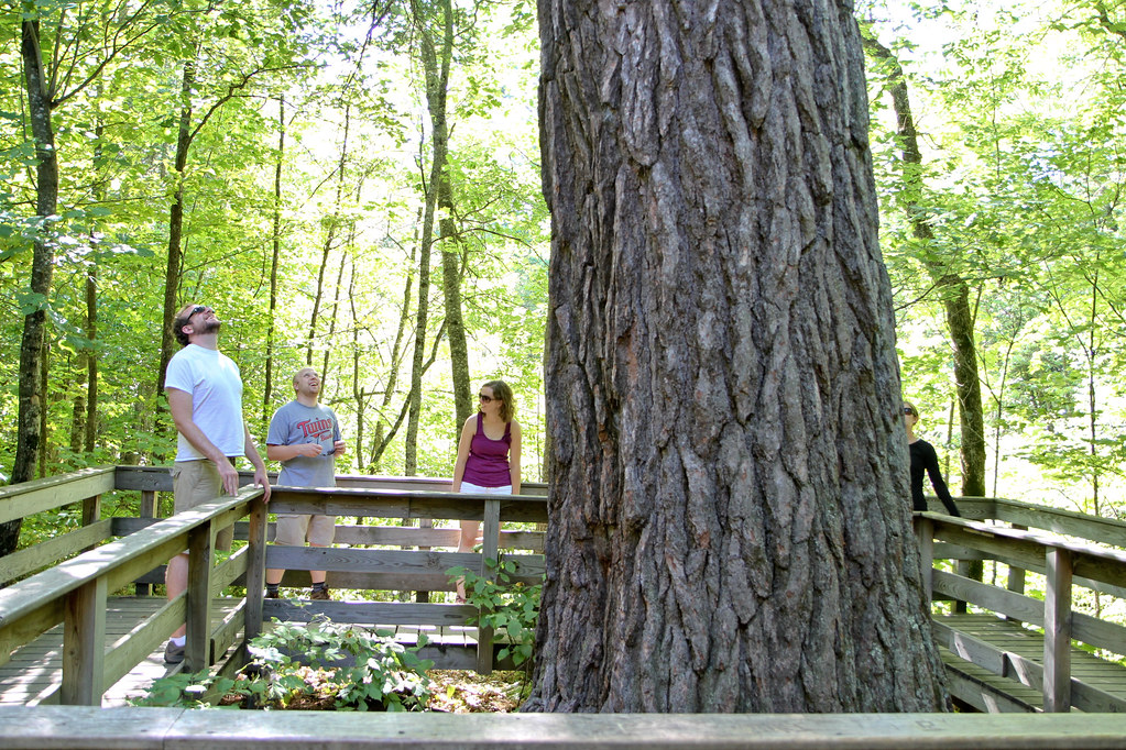 Itasca's Largest White Pine