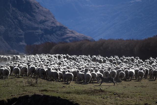SheepDog_Treblecone_NZ_G.LHeureux-9518