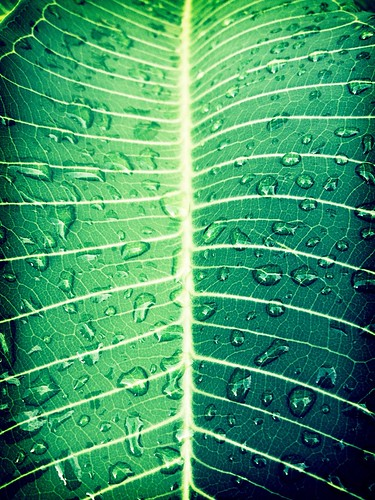 Raindrops on a Plumeria leaf