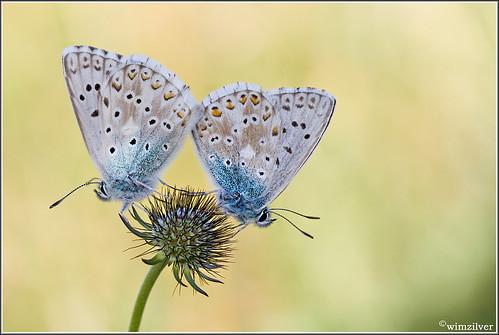 france macro butterfly jura 7d frankrijk vlinder chalkhillblue macrofotografie hoekzoeker wimzilver bleekblauwtje canon100mmf28lismacro facebookachtergrond