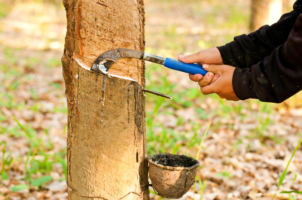 by Yotrak Tapping latex from a rubber tree, Thailand. | by Yotrak
