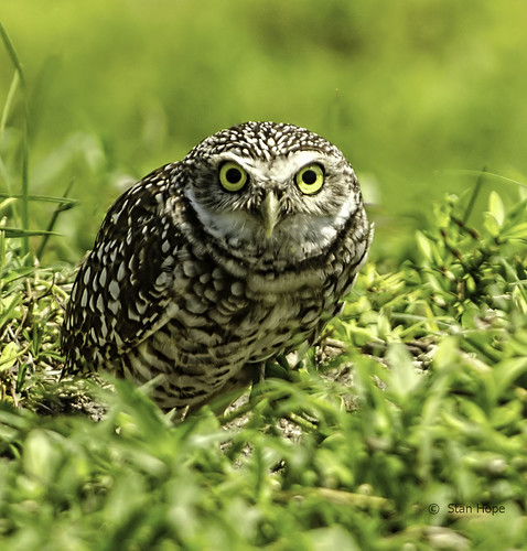 Burrowing Owls -  Whoo Are You