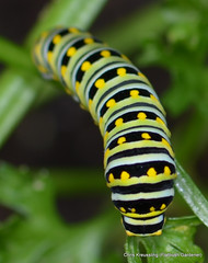 Late Instar Caterpillar, Papilio polyxenes, Eastern Black Swallowtail