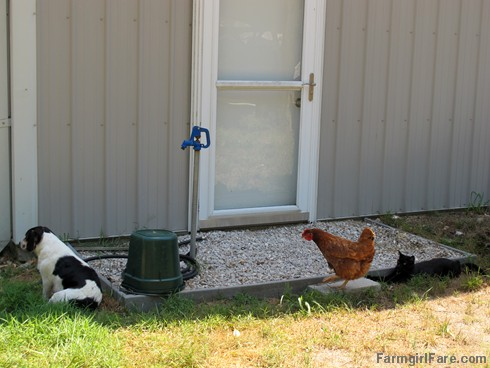 Bert, Tuffy, and Mr. Midnight - FarmgirlFare.com