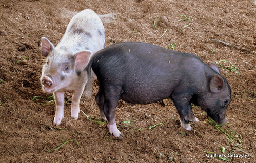 native-pig-and-wild-pig-cross-bred.jpg