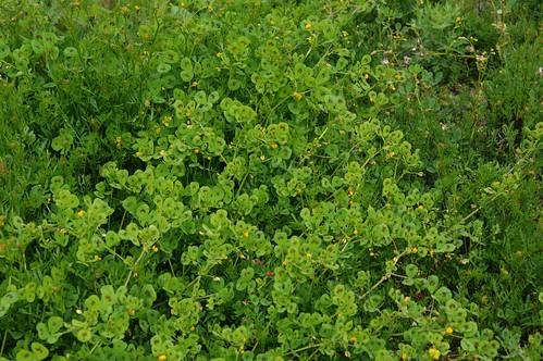 發現於中高海拔山區的褐斑苜蓿。(圖片來源:特生中心)