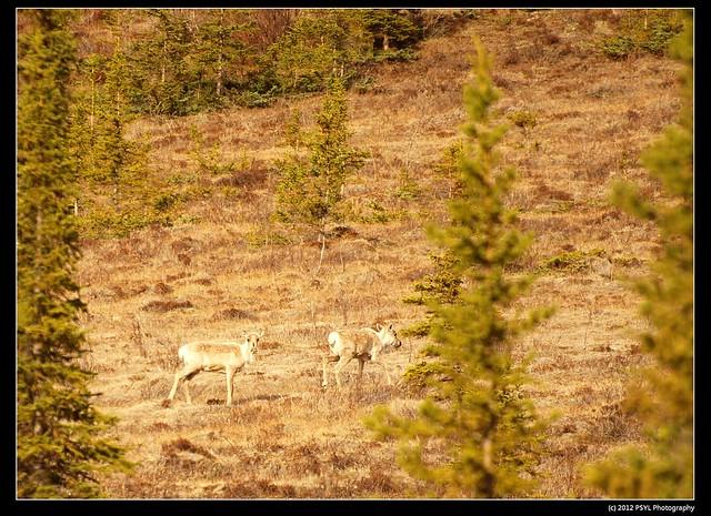 Porcupine caribous (Rangifer tarandus granti)