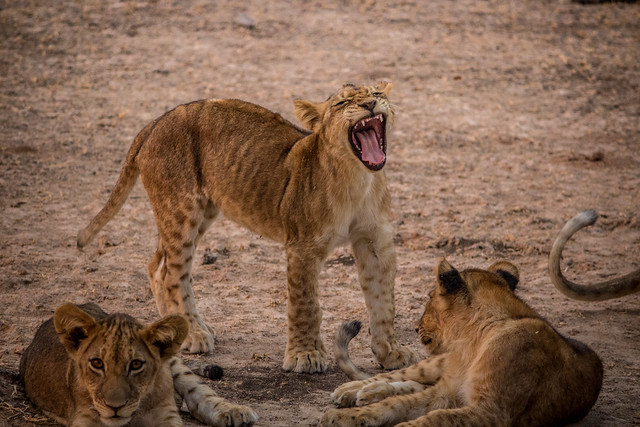 Lion Cubs Playing at Sunset