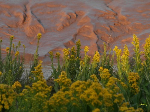 Goldenrod and Mudbank