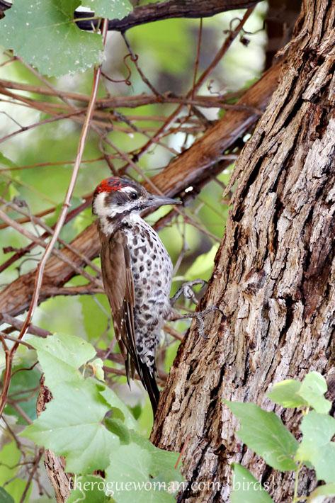 090112_05_bird_wood_ArizonaWoodpecker6