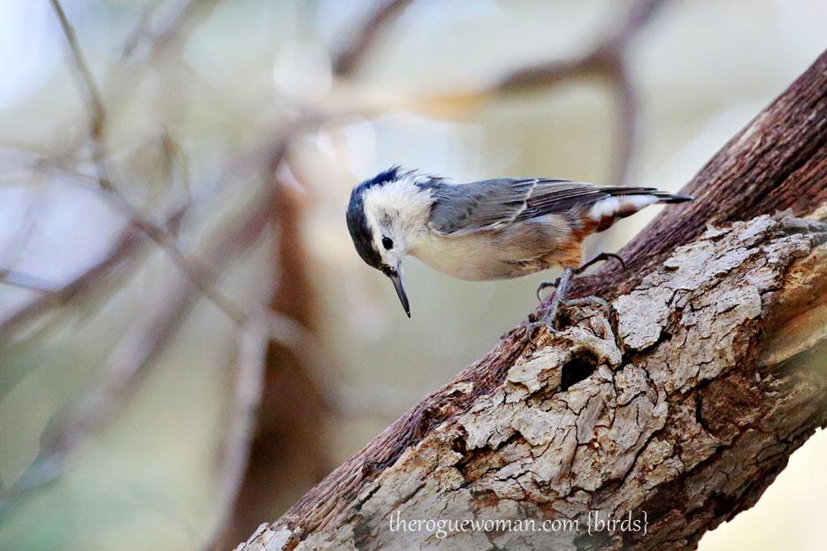 090112_05_bird_wood_whiteBreastedNuthatch