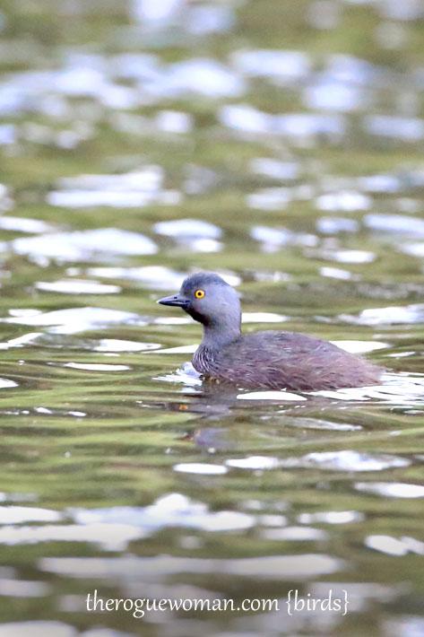 090212_09_bird_Water_leastGrebe
