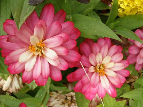 pink dye garden