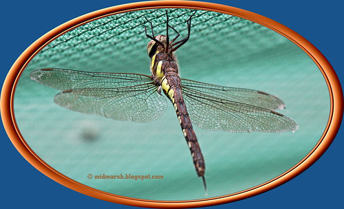 Common Hawker 02.jpg