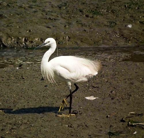 Little Egret 2  (Explored)