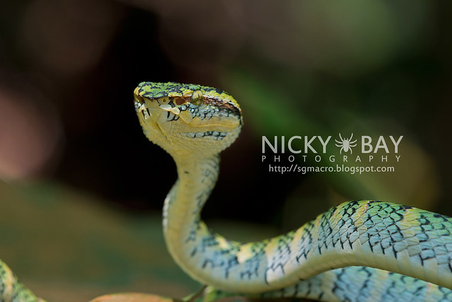 Wagler's Pit Viper (Tropidolaemus wagleri) - DSC_3914