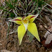 Cowslip Orchid at Dryandra (Peter Taylor)