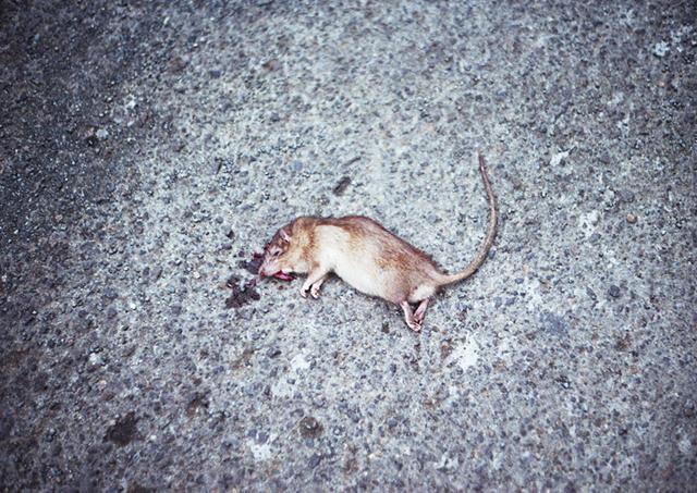 dead-rat-copy-acopy