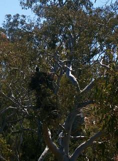 Wedgetailed Eagle Nest