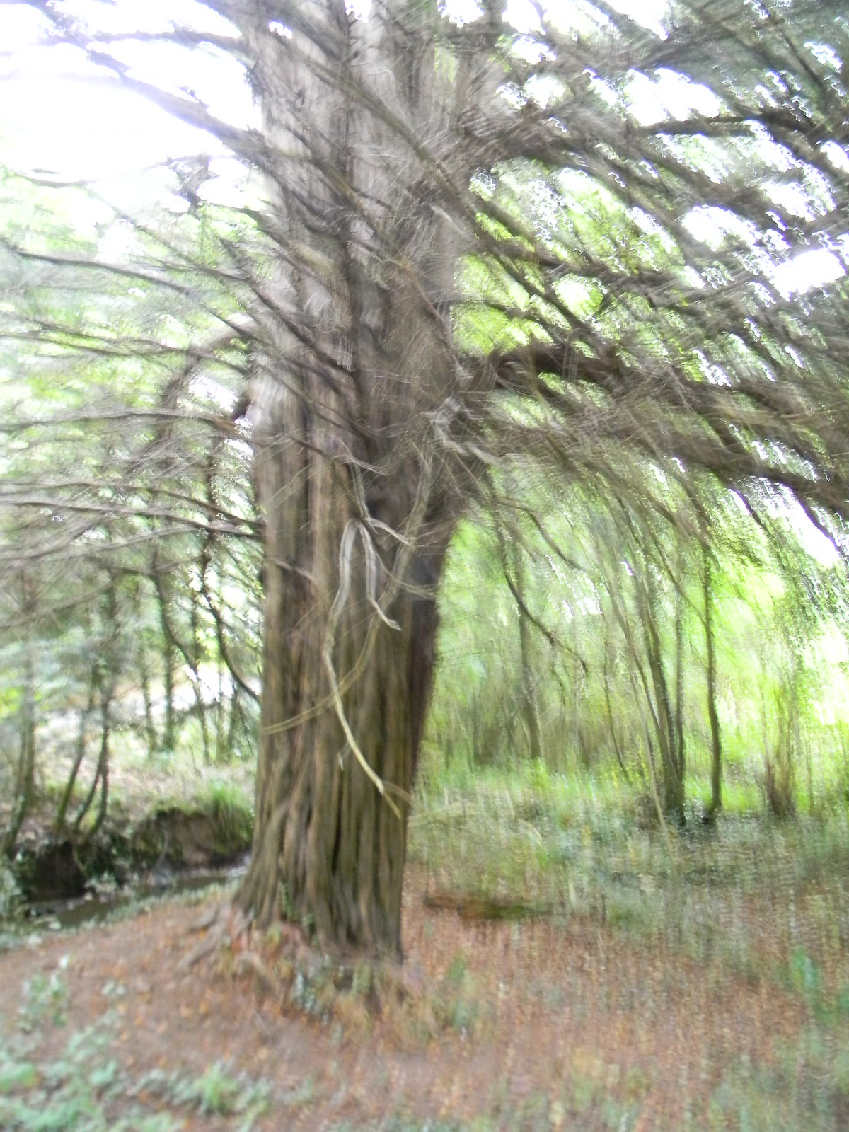 Large yew Eridge to Forest Row