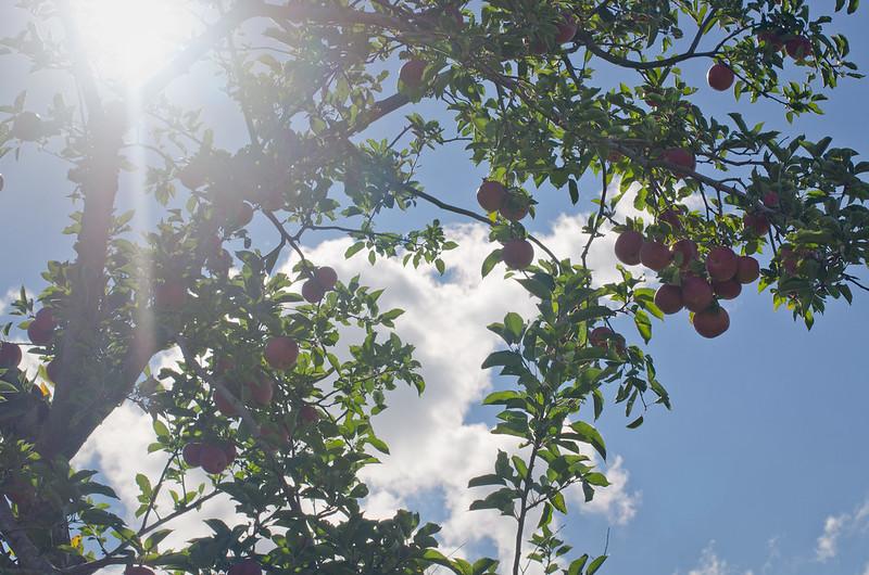 Apples-0100