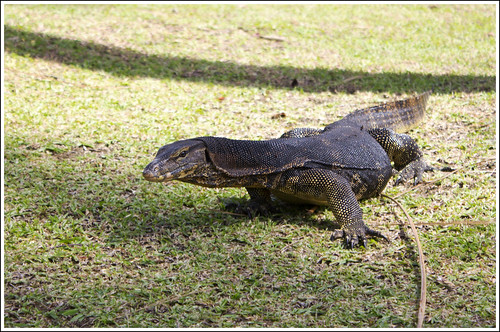 Monitor Lizard at Racha Yai island