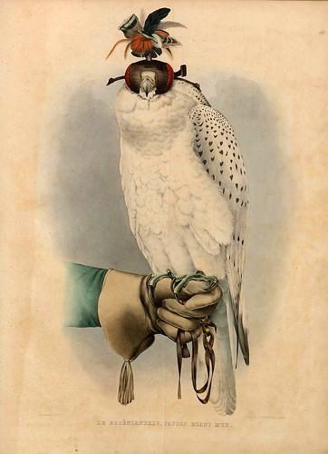 006-Halcon groenlandes- Traité de fauconnerie..1853- Hermann Schlegel- Universität Düsseldorf