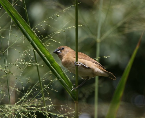Female Black-headed Munia